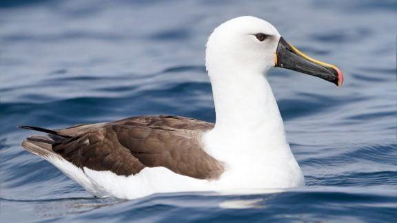 پیرترین پرنده جهان 70 ساله است و هنوز هم تولید مثل میکند!