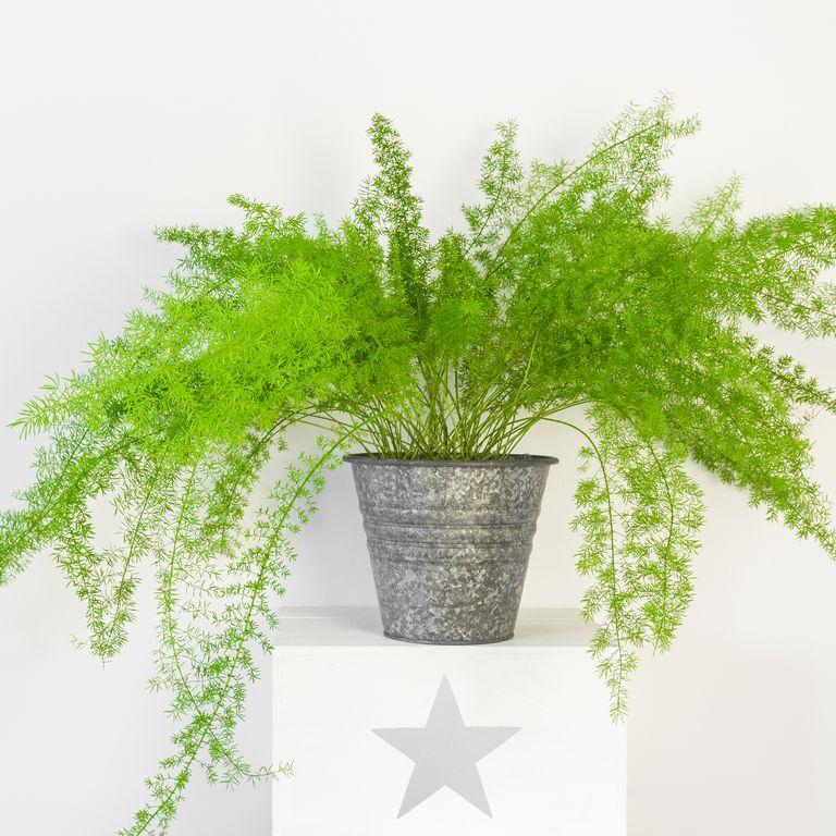 10 گیاه تمیزکننده هوا-سرخس مارچوبه