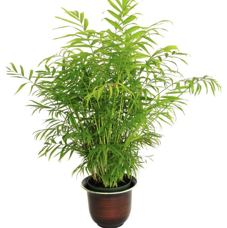 10 گیاه تمیزکننده هوا-نخل بامبو