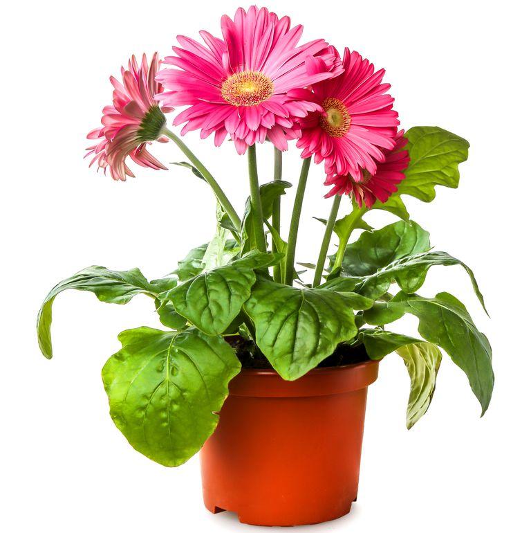 10 گیاه تمیزکننده هوا-کاسنی ژربرا دیزی