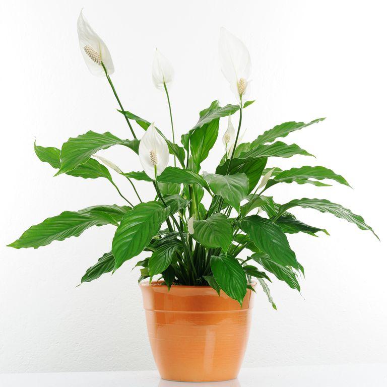 10 گیاه تمیزکننده هوا-گل برگقاشقی