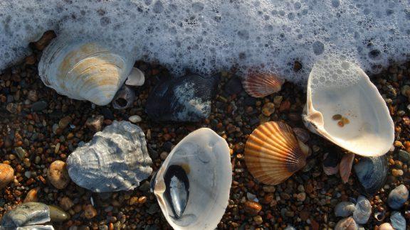 آشنایی با آبزیان خوراکی: آیا میدانید تفاوت صدف دوکفهای و گوش ماهی در چیست